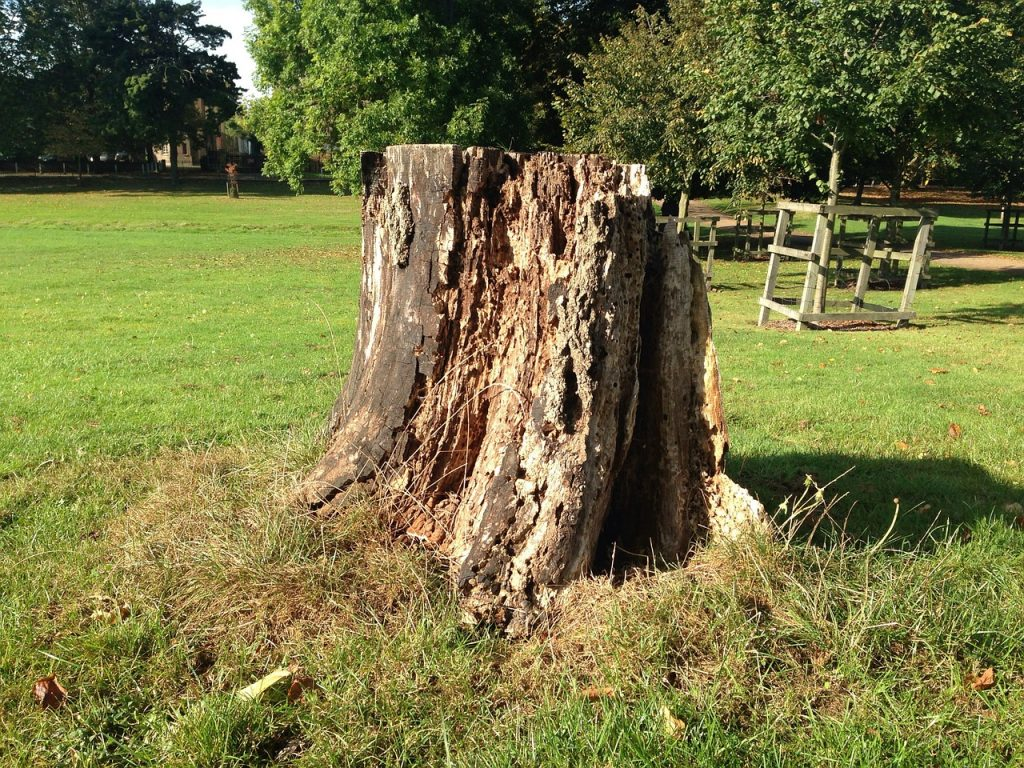 rotted stump sticking up in lawn stump grinding Paradise Landscaping and Tree Removal