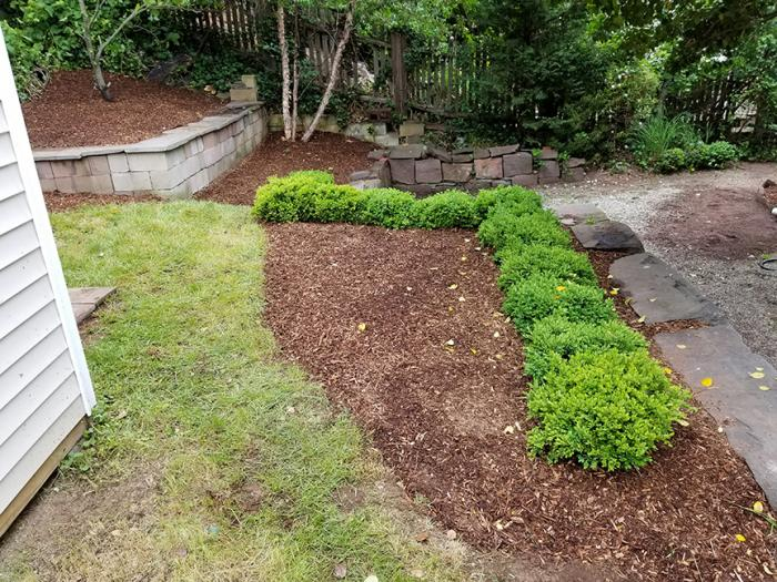 Another perspective of hedges and mulch also shows stone retaining wall we created.