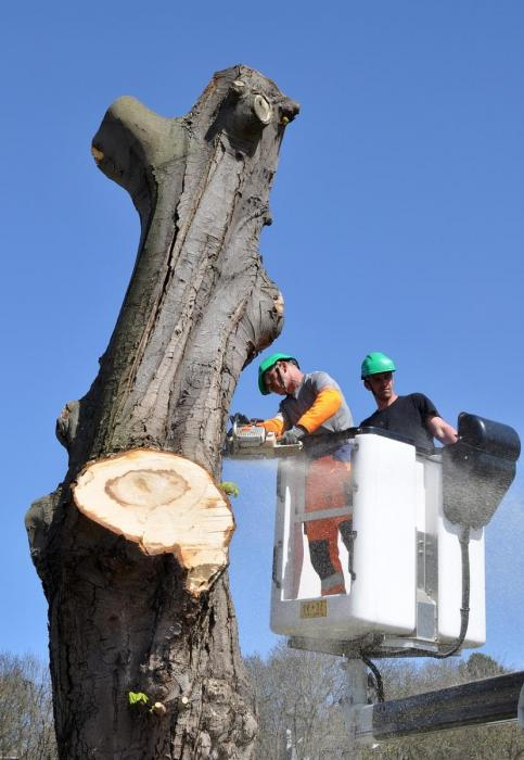 Very large trees require expert workers & proper equipment.